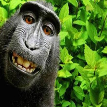 Hey, remember that monkey selfie copyright drama a few years ago? Get this – It's just hit the US appeals courts