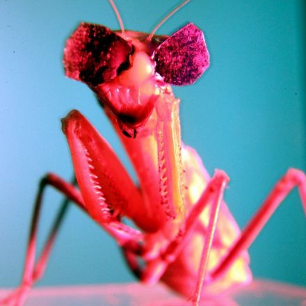 Birds Beware: The Praying Mantis Wants Your Brain