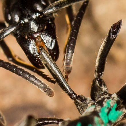 These ants have evolved a complex system of battlefield triage and rescue