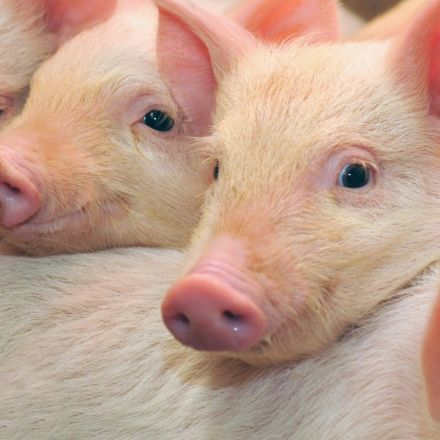 CRISPR gene-editing corrects muscular dystrophy in pigs