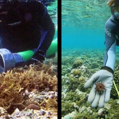 Sea urchins help researchers fight reef-smothering algae