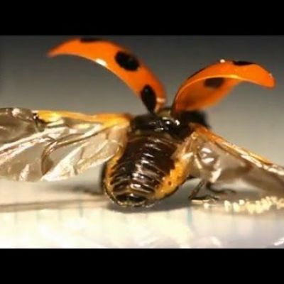 First-Ever Look at the Intricate Way Ladybugs Fold Their Wings