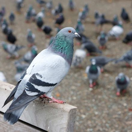 Today in Terrifying Bird News, Pigeons Know How to Read,Well Sort of