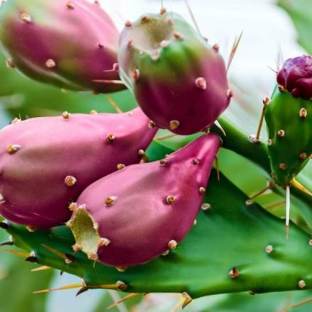 The Remarkable Power of the Prickly Pear