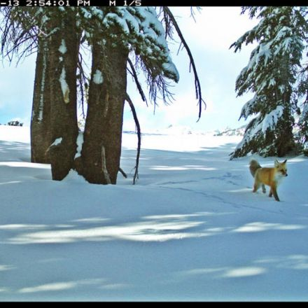 'Rare and Elusive' Sierra Nevada Red Fox Spotted in Yosemite for First Time in Nearly a Century