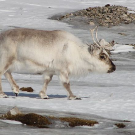 Arctic's Extreme Weather Causes Problems for Reindeer