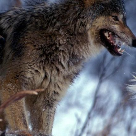When Wolves Return to the Wild, Everything Changes