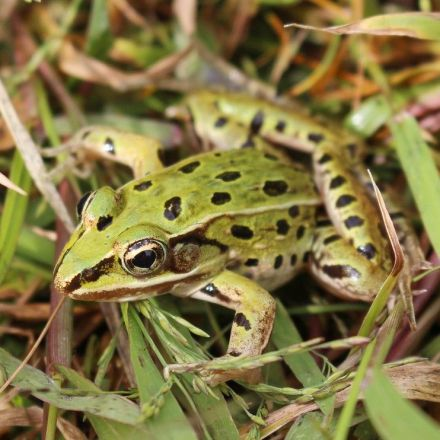 Big City, Big Surprise: New York City's Newest Species Is a Frog