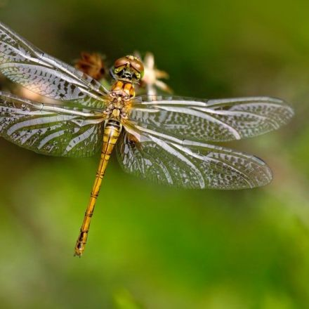 New imaging technique reveals how dragonfly wings tear bacteria apart