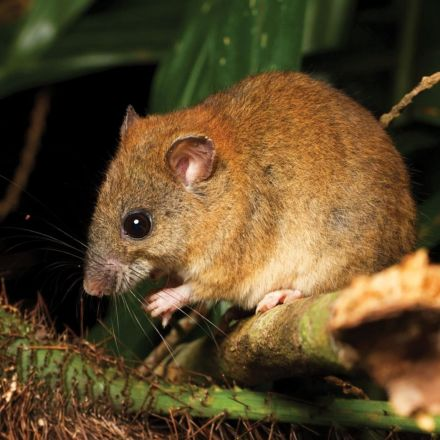 1st Mammal Species goes Extinct courtesy of Climate Change