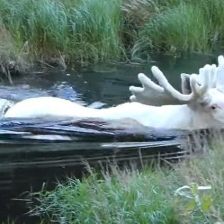 The Internet Is Freaking Out Over This Bizarre, Completely White Moose