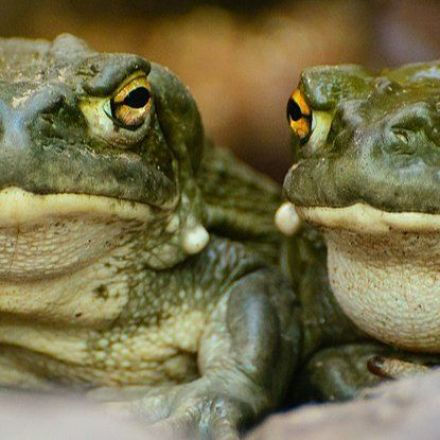Snorting Powdered Toad Secretions Just Once Is Linked to Feeling Happier For a Month