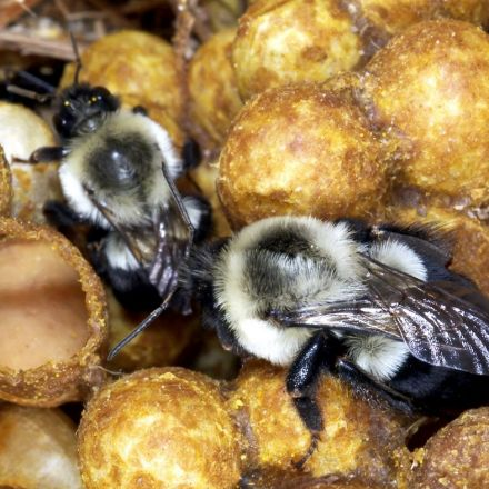 Popular Neonicotinoid Pesticides Keep Bumblebees From Laying Eggs