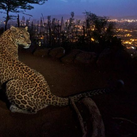 Leopards in a city park in India may help lower human injuries and deaths from stray dog bites