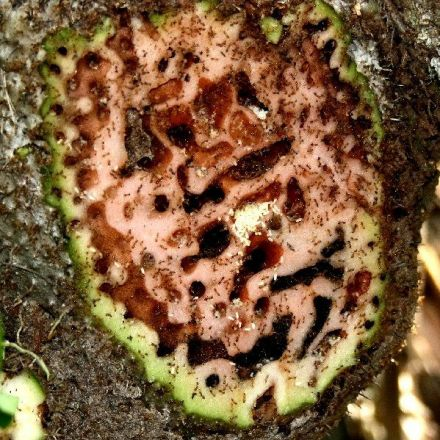 In Fiji, ants have learned to grow plants to house their massive colonies
