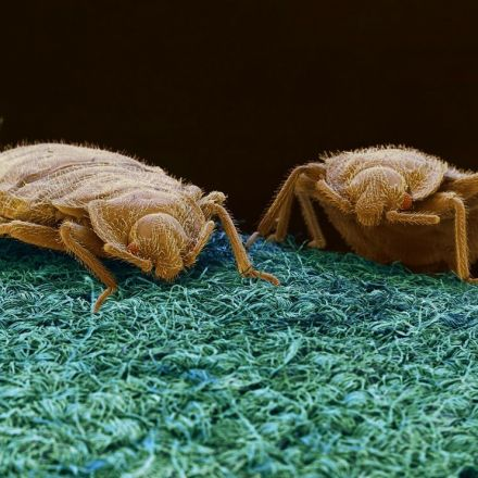 Bedbug bait and trap invented by Simon Fraser University scientists