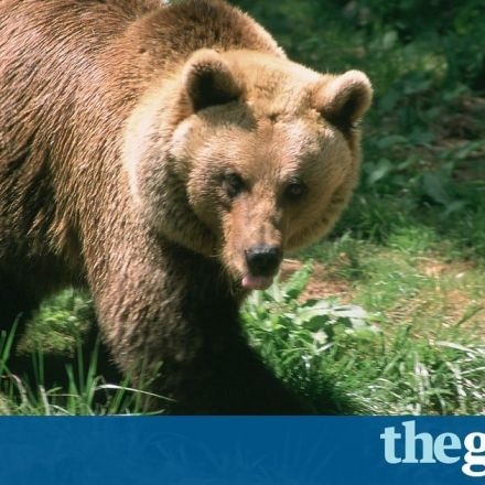 Bear chases 200 sheep over cliff edge to their deaths