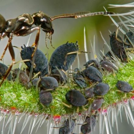 Ant species cultivates coffee for accommodation