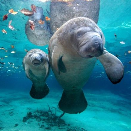 Manatees are no longer endangered species