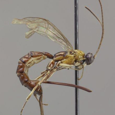 New wasp species with a giant stinger discovered in Amazonia