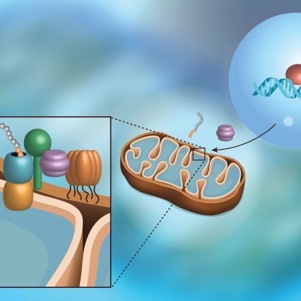 Biologists Discover Pathway That Protects Mitochondria