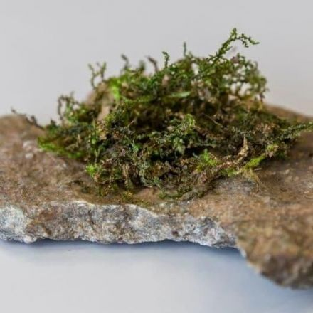 Moss-like plant may help with pain more than medical marijuana