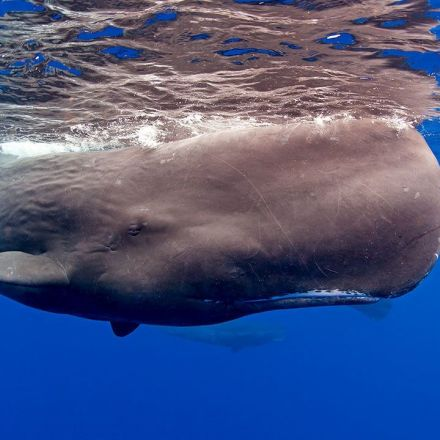 Something killed a lot of sperm whales in the past—and it wasn't whalers