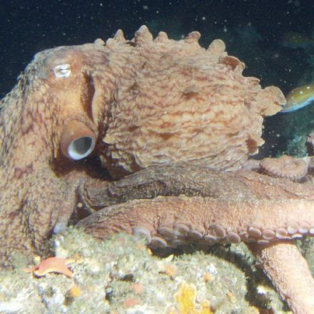 Octopuses are so clever, scientists missed a species right under their noses