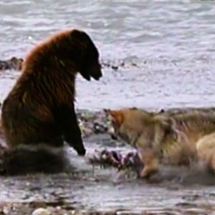 Grizzly bear battles 4 wolves