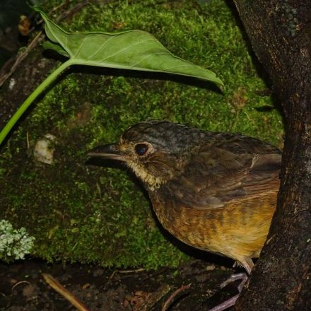 Lost to Science for 60 Years, Táchira Antpitta Is Rediscovered in Venezuelan Andes