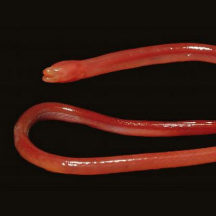 New species of blind eel that burrows through the soil discovered