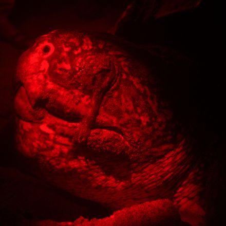 Prehistoric Reptilian Leatherbacked Nocturnal Beach Layers in Trinidad & Tobago |