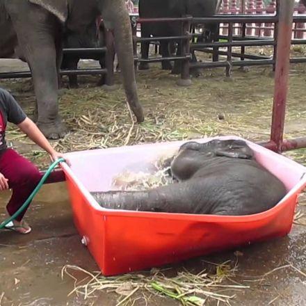"Baby Elephant Bathing ""Double trouble"""