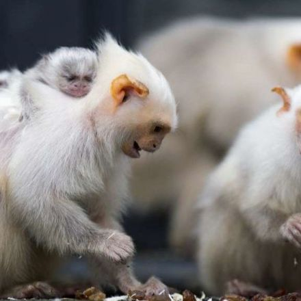 These monkeys surprised scientists by sharing even more when no one was looking