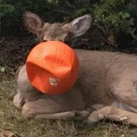 Neighbors rescue deer with plastic pumpkin stuck on its head