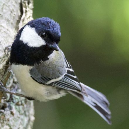 These highly social birds can make 'sentences,' just like humans