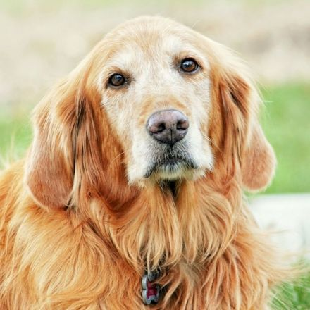 Pet-directed speech draws adult dogs' attention more efficiently than Adult-directed speech
