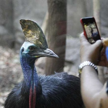 Researchers have answered a 200-year-old mystery surrounding Australia's iconic cassowary