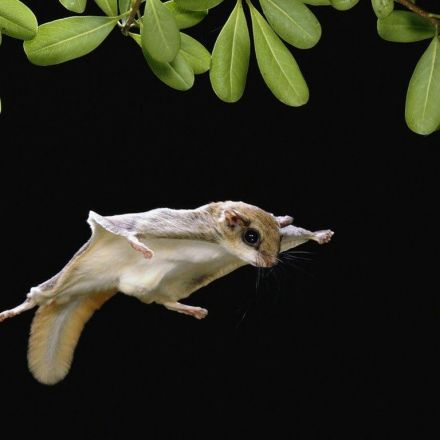 Cryptic New Species of Flying Squirrel Identified in North America
