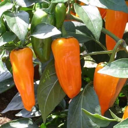 Eat hot peppers for a longer life?