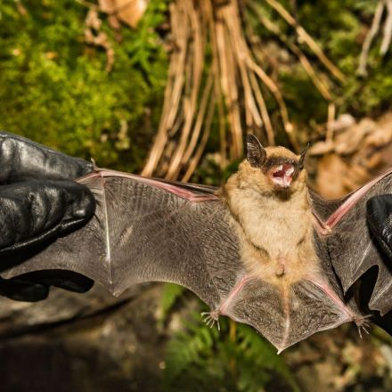 Three Ways Bats Could Bounce Back From Devastating White Nose Syndrome