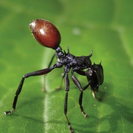 1.16.2008 - Ant parasite turns host into ripe red berry, biologists discover