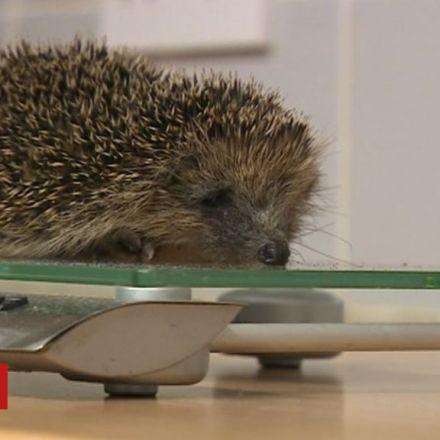 Hoglets 'too light to hibernate' after wet summer