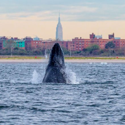 Large numbers of humpback whales have returned to NYC for the first time in a century