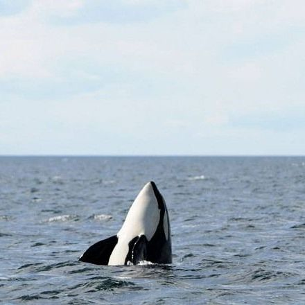 Killer Whales Learn How to Speak Dolphin