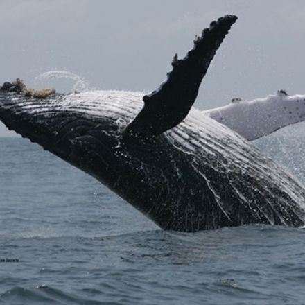 Whales share songs from other oceans
