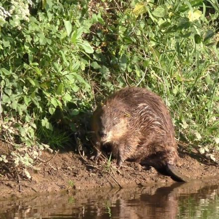 Wild beavers reduce flood risk and boost wildlife, study finds