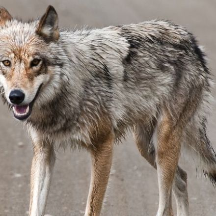 Wolves need space to roam to control expanding coyote populations