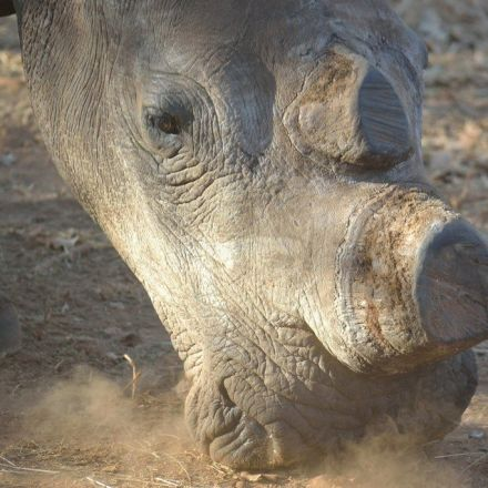 Rhino Poaching is Decreasing in South Africa