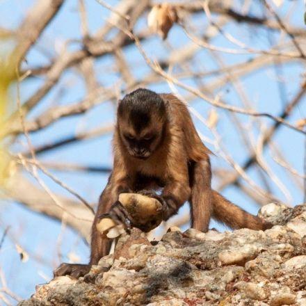 Rock-Smashing Monkeys Unintentionally Make Sharp Stone Tools